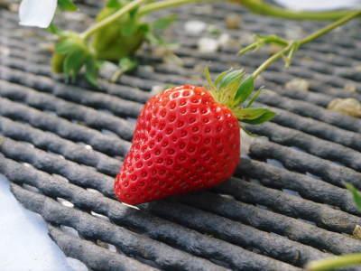 熊本イチゴ『熊紅(ゆうべに)』最旬です!美味しさにこだわり朝採り、即日発送で大好評販売中!_a0254656_18171636.jpg