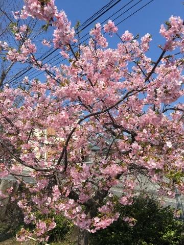 桜咲く_f0082056_20084449.jpg
