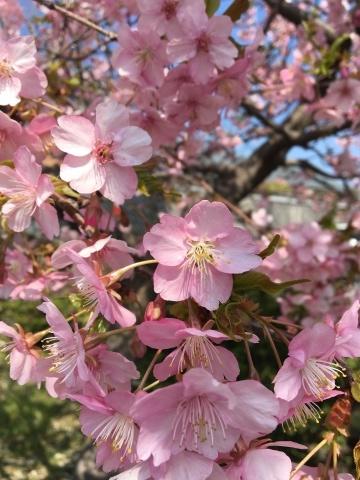 桜咲く_f0082056_20085331.jpg