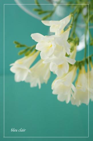 春のフリージア_b0270372_15150231.jpg
