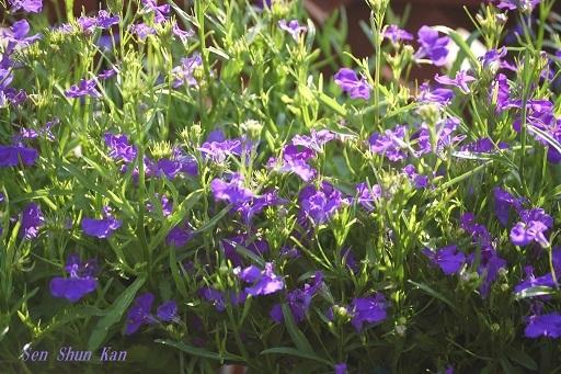 早春の草花展 その2_a0164068_16195912.jpg