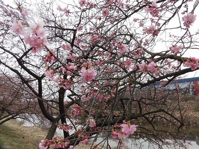 今日から3月 沼川の浮島工業団地脇のカワヅザクラが見頃になりつつあります!_f0141310_07322918.jpg