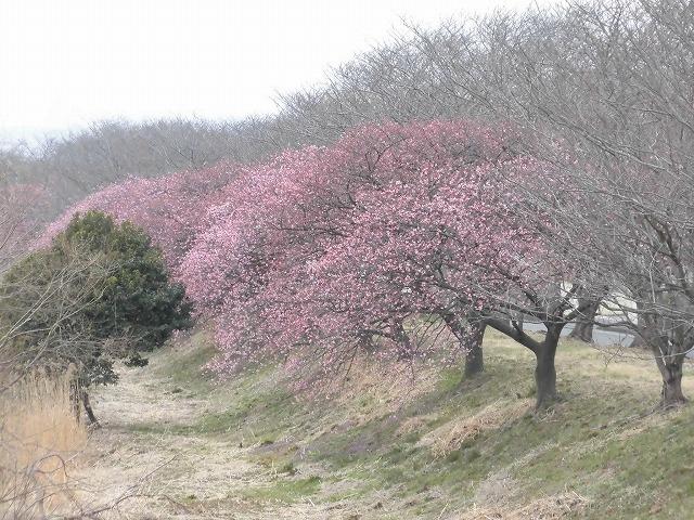 今日から3月 沼川の浮島工業団地脇のカワヅザクラが見頃になりつつあります!_f0141310_07324905.jpg