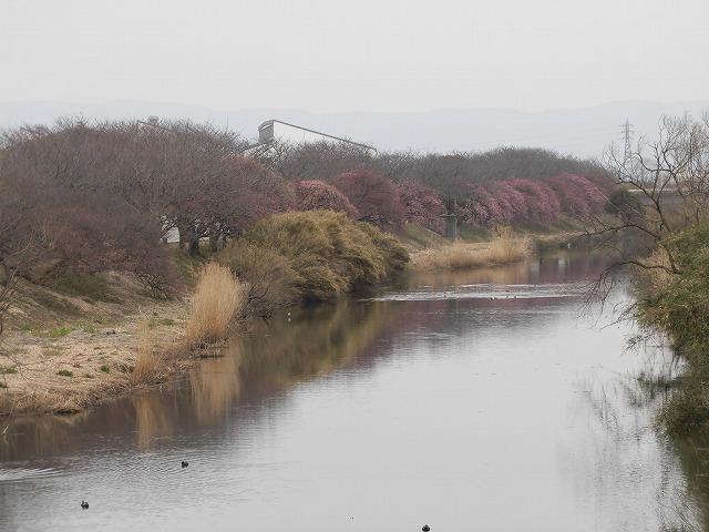 今日から3月 沼川の浮島工業団地脇のカワヅザクラが見頃になりつつあります!_f0141310_07330022.jpg