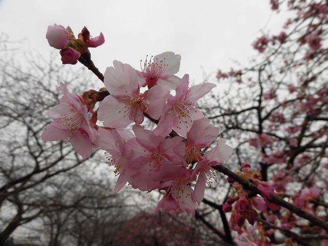 今日から3月 沼川の浮島工業団地脇のカワヅザクラが見頃になりつつあります!_f0141310_07331040.jpg