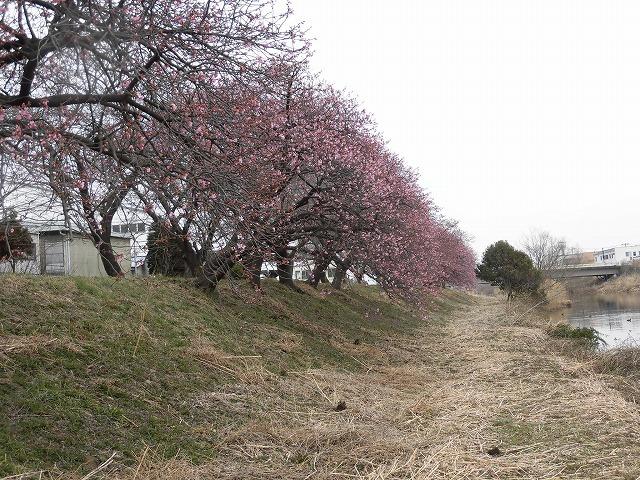今日から3月 沼川の浮島工業団地脇のカワヅザクラが見頃になりつつあります!_f0141310_07332032.jpg