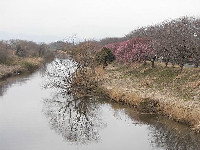 今日から3月 沼川の浮島工業団地脇のカワヅザクラが見頃になりつつあります!_f0141310_07333020.jpg