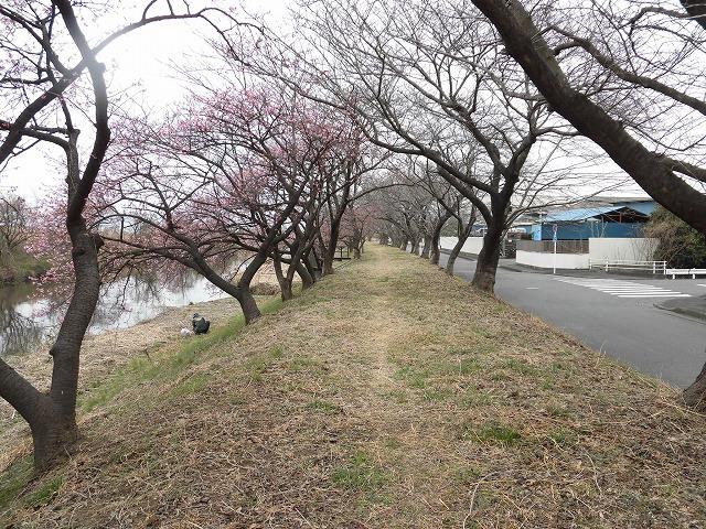 今日から3月 沼川の浮島工業団地脇のカワヅザクラが見頃になりつつあります!_f0141310_07335111.jpg