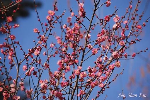 植物園の梅林 京都府立植物園 2018年2月27日_a0164068_22133116.jpg