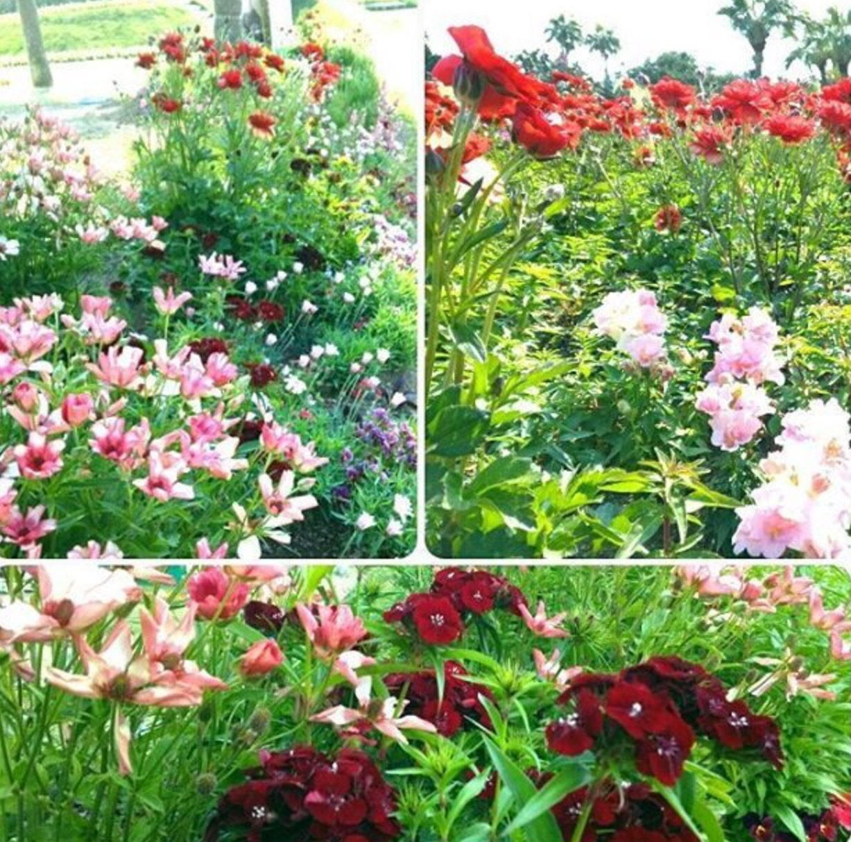 イベントのお知らせ・・・こどものくににラナンキュラスラックスが咲きますので、GardenLive_b0137969_06143930.png