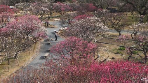 梅が満開! 福岡城址 舞鶴公園_b0214473_184157100.jpg