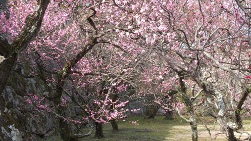 梅が満開! 福岡城址 舞鶴公園_b0214473_1842313.jpg