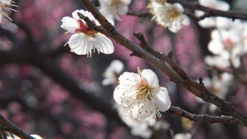 梅が満開! 福岡城址 舞鶴公園_b0214473_18424572.jpg