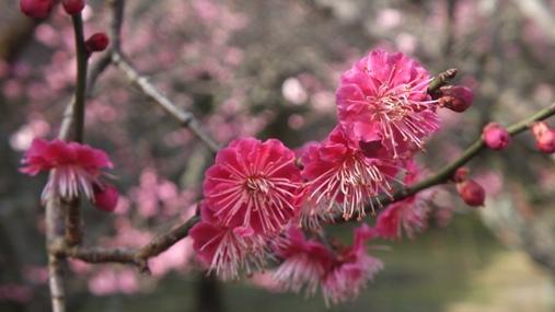 梅が満開! 福岡城址 舞鶴公園_b0214473_18425564.jpg