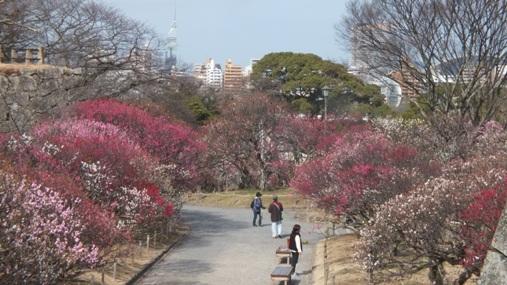 梅が満開! 福岡城址 舞鶴公園_b0214473_1842876.jpg