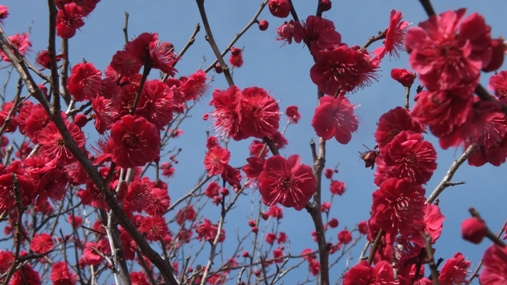 梅が満開! 福岡城址 舞鶴公園_b0214473_18431662.jpg