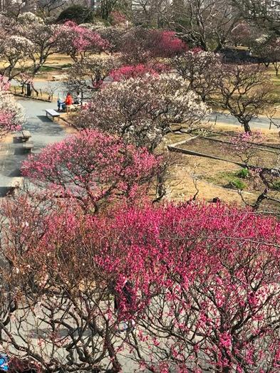 梅が満開! 福岡城址 舞鶴公園_b0214473_18442146.jpg