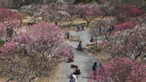 梅が満開! 福岡城址 舞鶴公園_b0214473_18461324.jpg