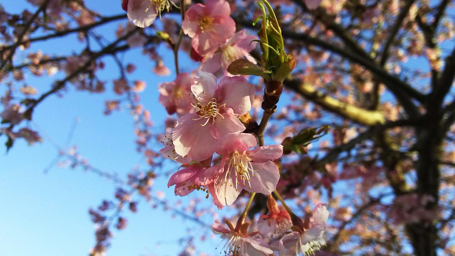 河津桜 ~ふじみ野市・福岡中央公園~_a0107574_18281112.jpg