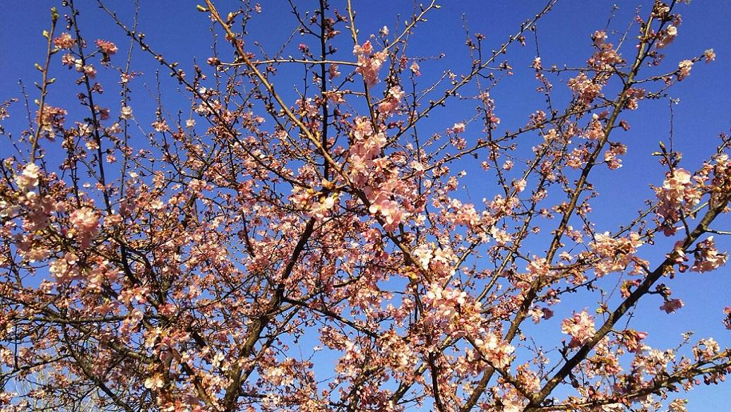 河津桜 ~ふじみ野市・福岡中央公園~_a0107574_18281990.jpg