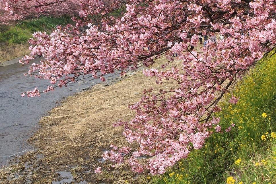 河津桜 ~ふじみ野市・福岡中央公園~_a0107574_18412559.jpg