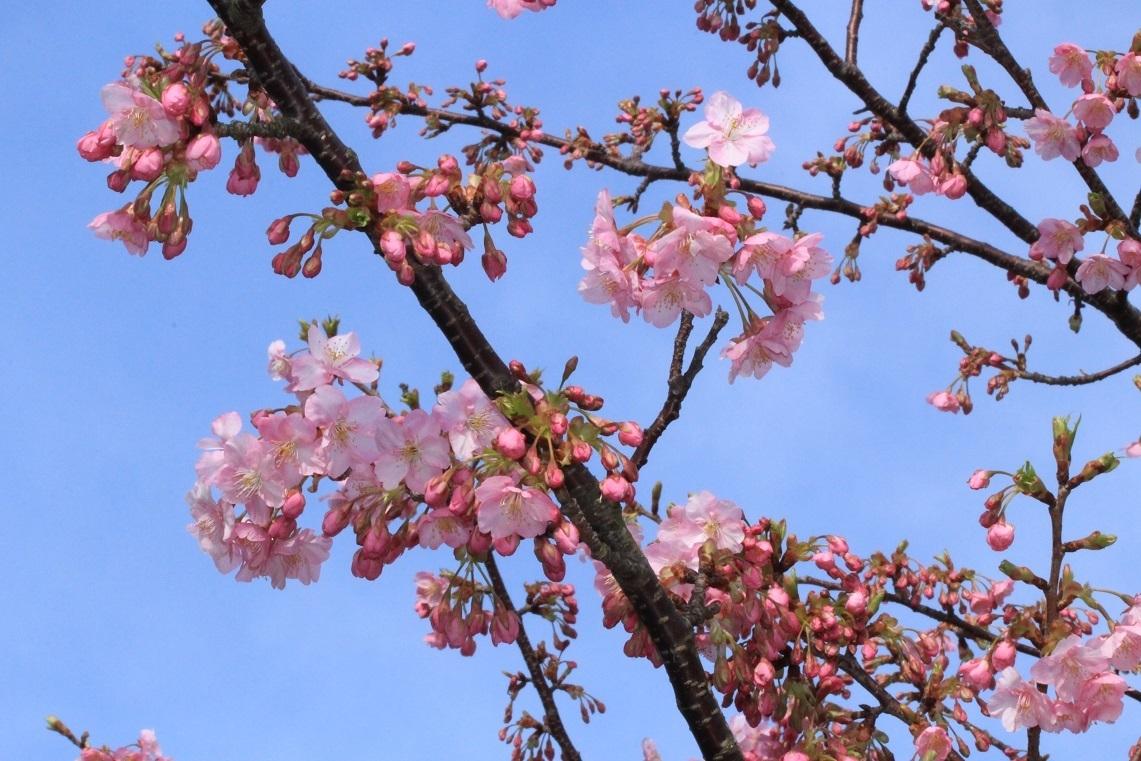河津桜 ~ふじみ野市・福岡中央公園~_a0107574_18413487.jpg