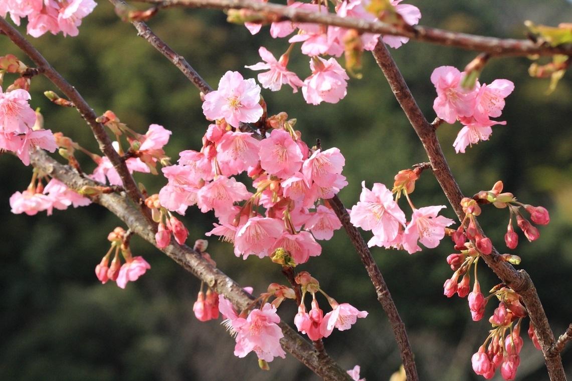 河津桜 ~ふじみ野市・福岡中央公園~_a0107574_18414999.jpg