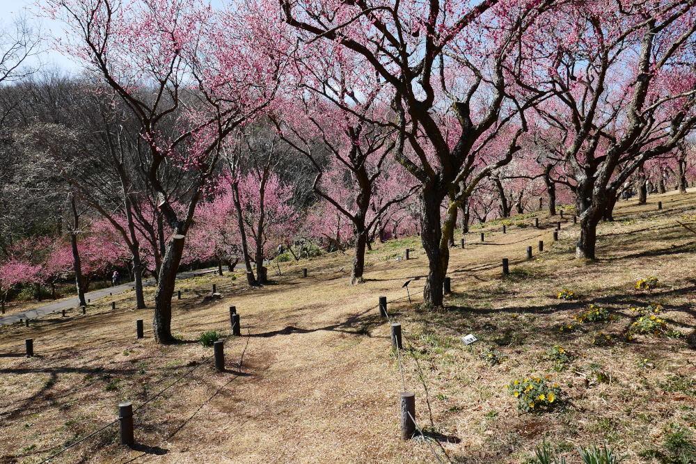 森林公園で梅見_c0252688_17501696.jpg