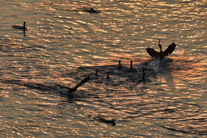 野鳥の楽園、大淀川(^o^)_c0049299_22544895.jpg