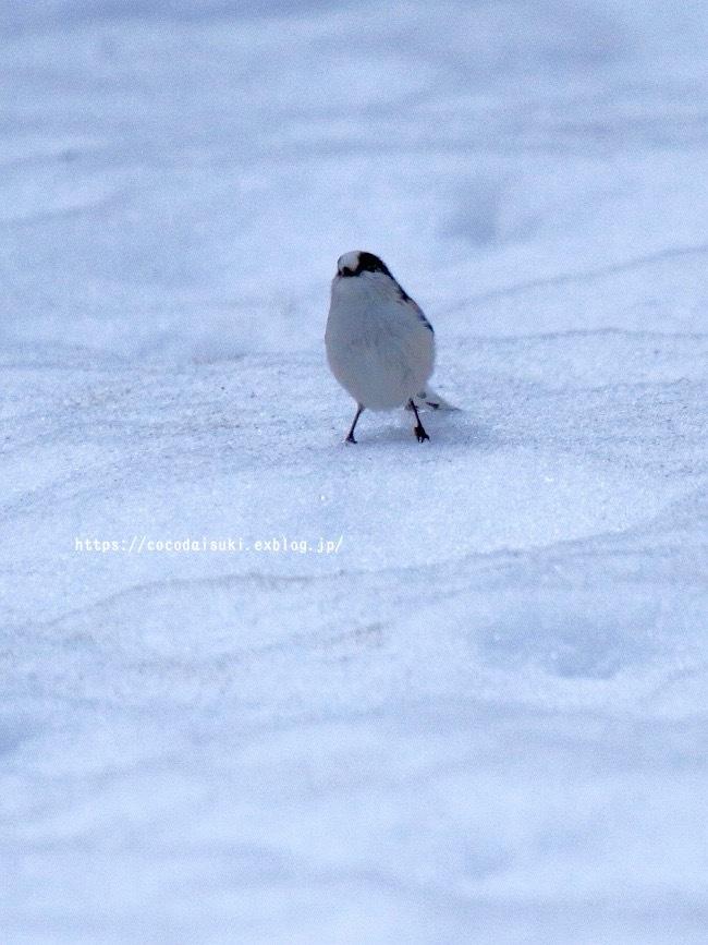 雪上のエナガ♪_d0367763_22361457.jpg