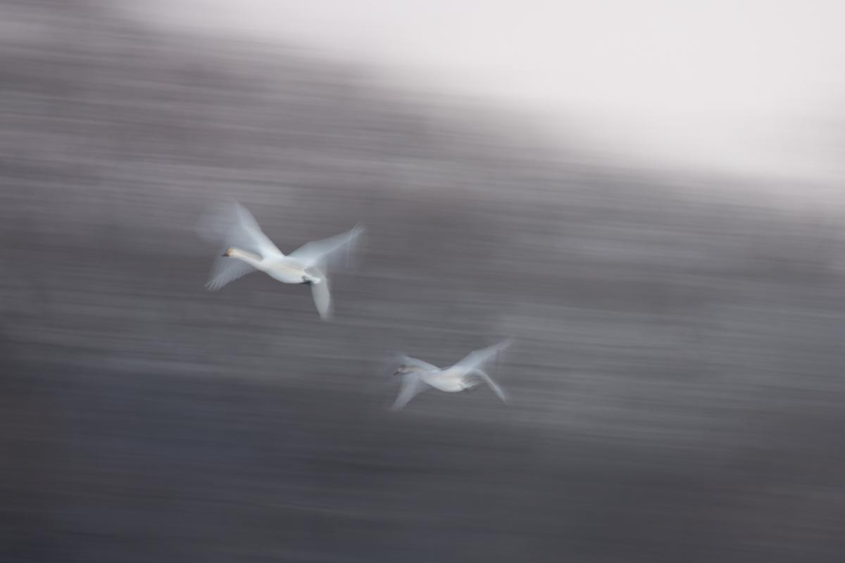 白鳥流し撮り一代記・2018 part Ⅵ_d0349418_22554300.jpg