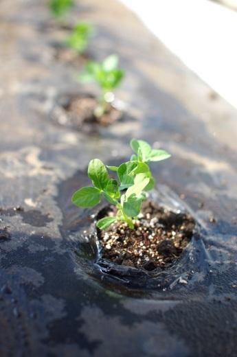 今季はじめて苗を植える(スナップエンドウ)_c0110869_11000016.jpg