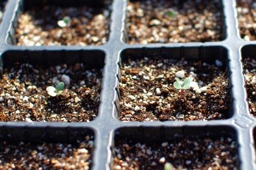今季はじめて苗を植える(スナップエンドウ)_c0110869_11001548.jpg