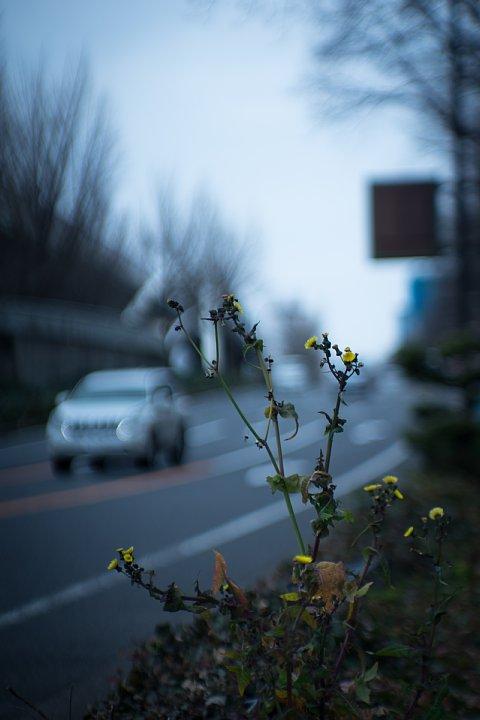 厳冬に耐えた健気なノゲシ_d0353489_225351.jpg
