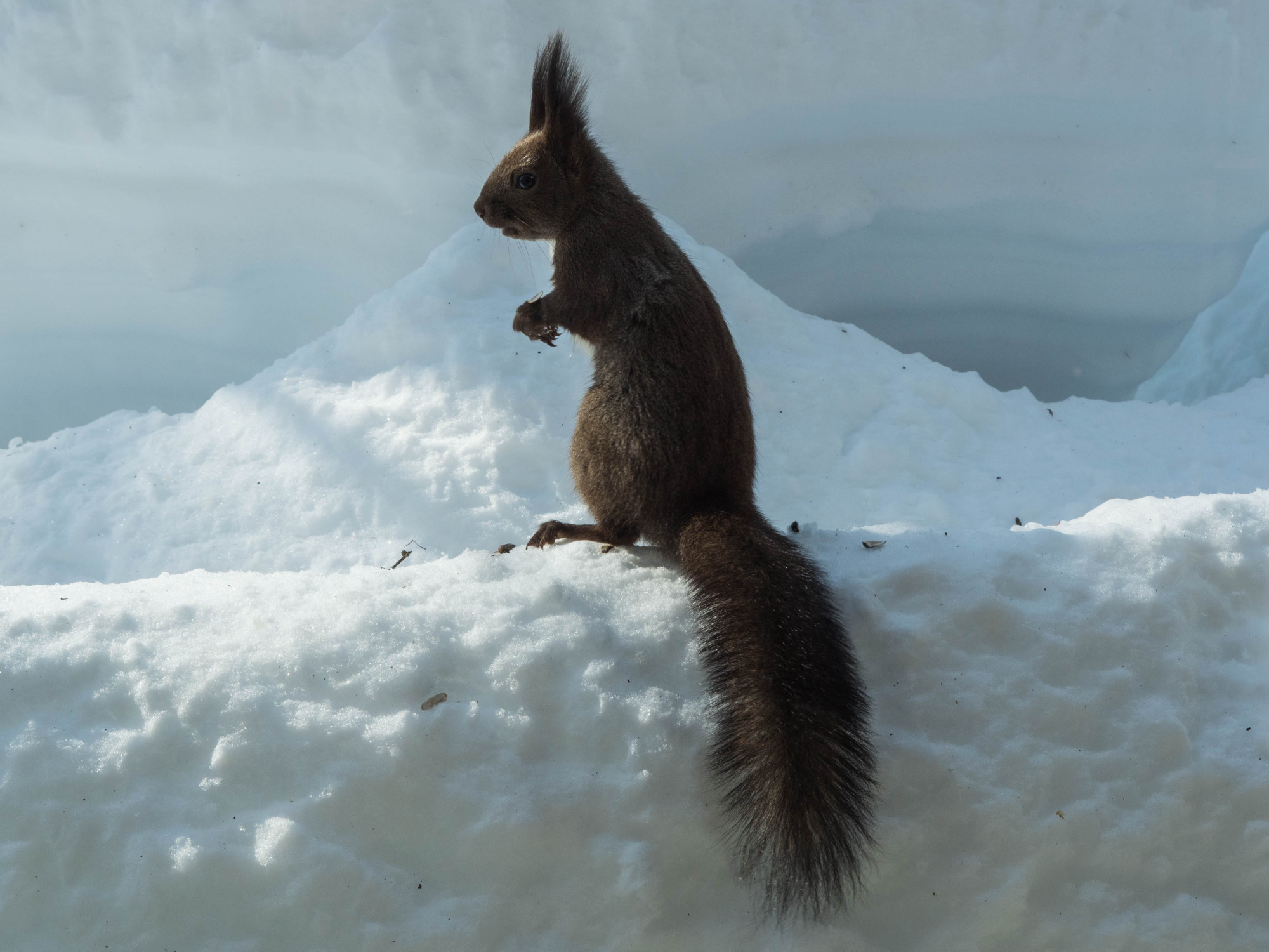 大雪の後は春の陽気。エゾリス君、雪に埋もれたリス小屋に呆然!_f0276498_22360652.jpg