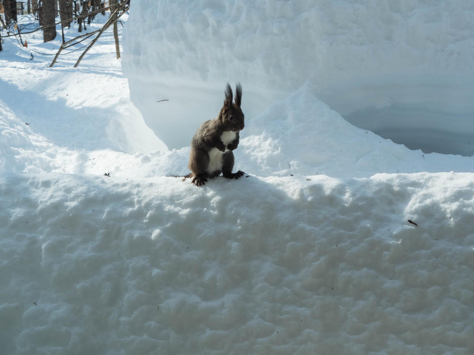 大雪の後は春の陽気。エゾリス君、雪に埋もれたリス小屋に呆然!_f0276498_22365293.jpg