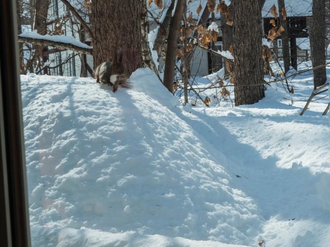 大雪の後は春の陽気。エゾリス君、雪に埋もれたリス小屋に呆然!_f0276498_22375197.jpg
