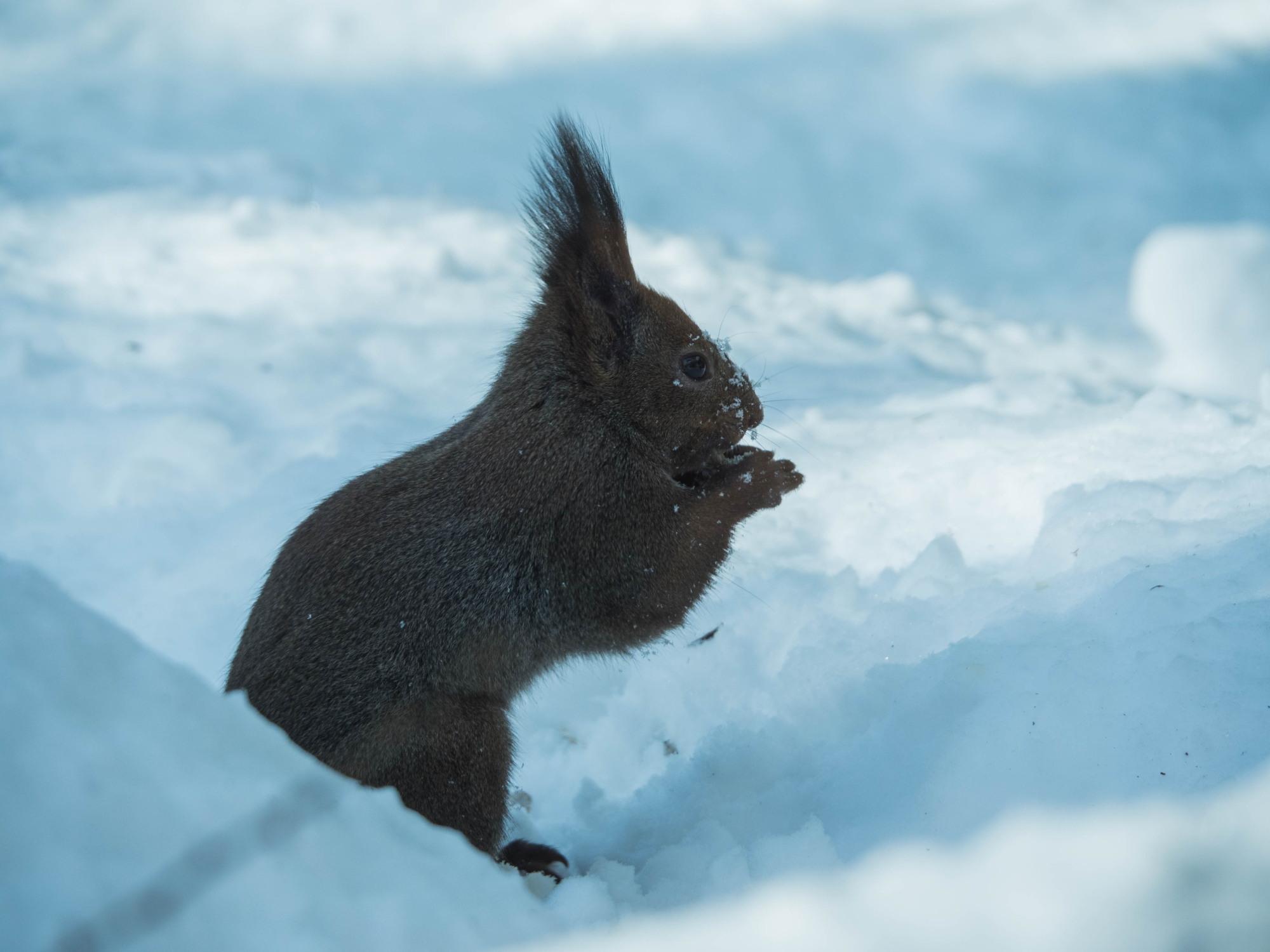 大雪の後は春の陽気。エゾリス君、雪に埋もれたリス小屋に呆然!_f0276498_22384380.jpg