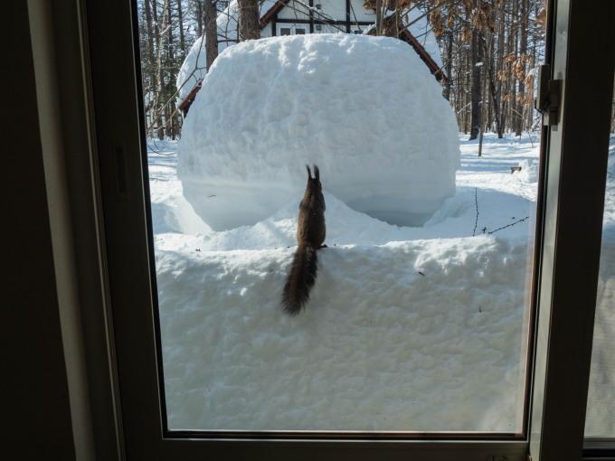 大雪の後は春の陽気。エゾリス君、雪に埋もれたリス小屋に呆然!_f0276498_22400282.jpg
