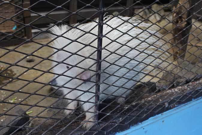 白いヤマアラシ「チョロ」(市原ぞうの国)_b0355317_21544446.jpg