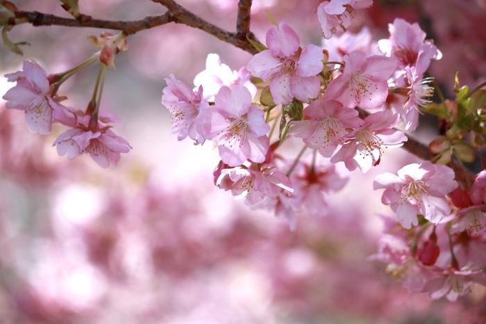 【河津桜まつり】_f0348831_22573583.jpg