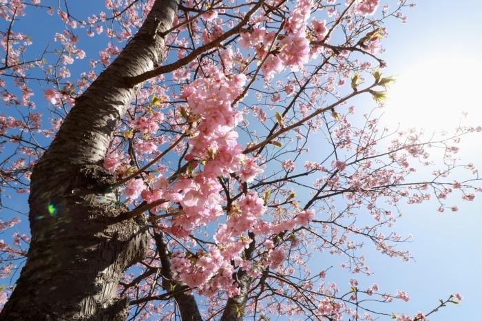 【河津桜まつり】_f0348831_22574633.jpg