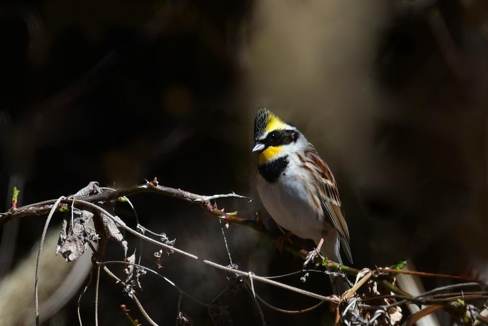黄色い鳥さん2種〜 ミヤマホオジロ マヒワ_f0053272_22275357.jpg