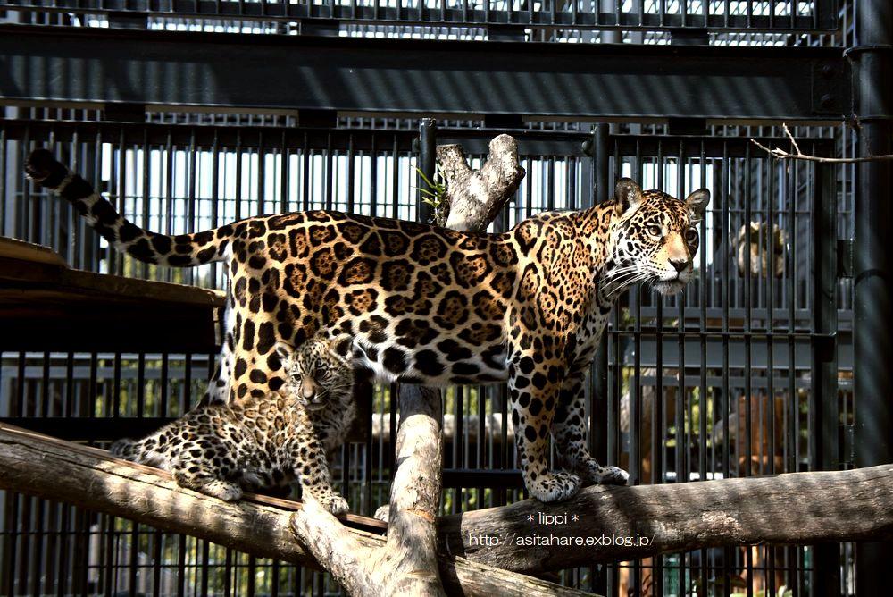 ジャガーの赤ちゃんに会いに_b0024758_22302817.jpg
