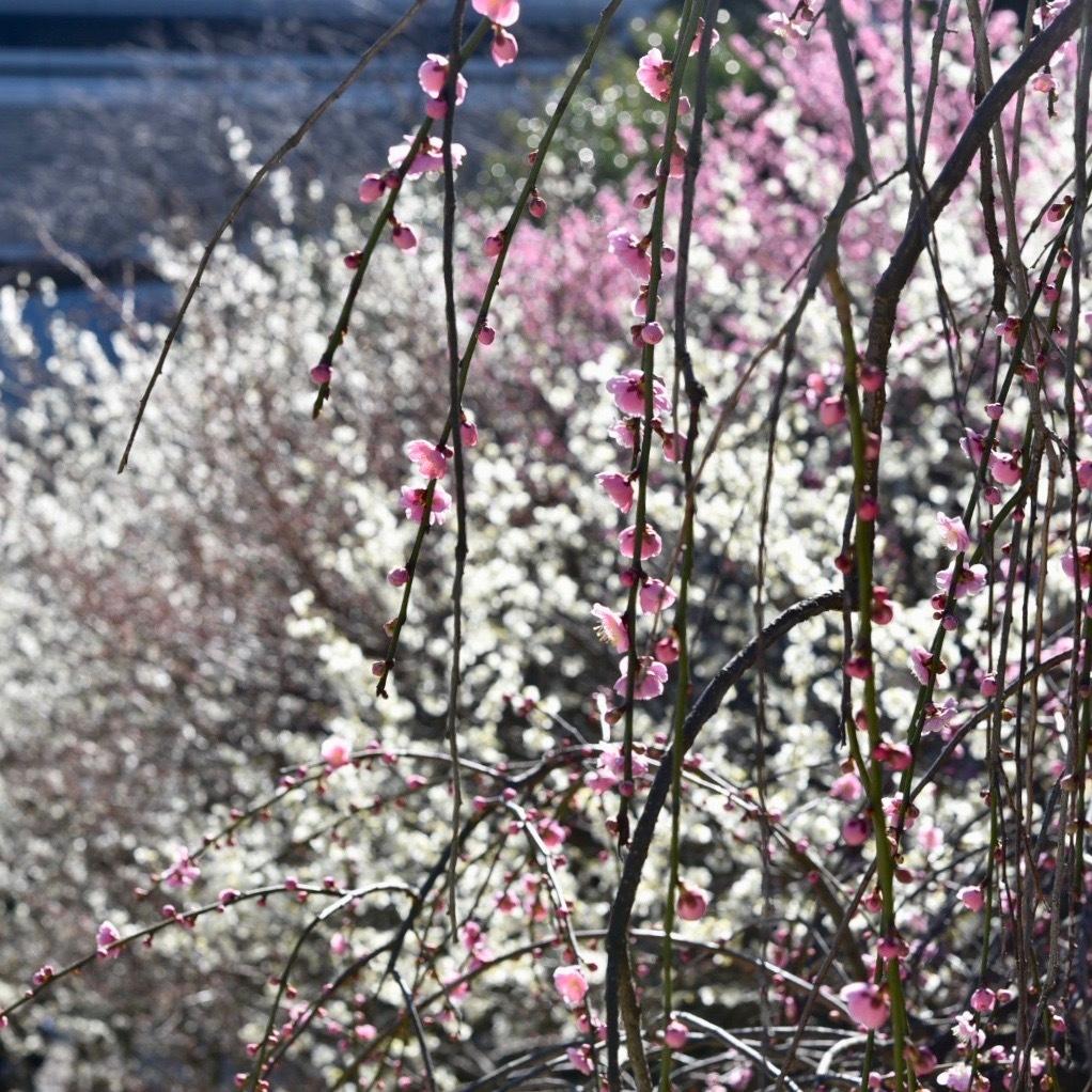 縮景園の梅が満開_f0099102_11462057.jpg