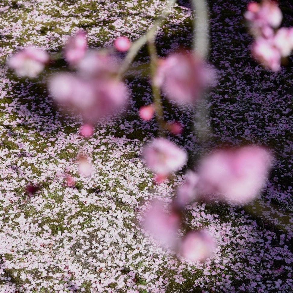 縮景園の梅が満開_f0099102_11462599.jpg
