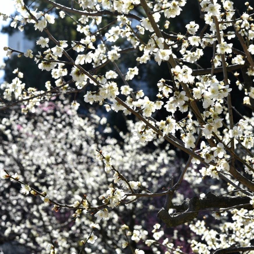 縮景園の梅が満開_f0099102_11462901.jpg