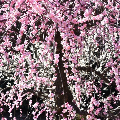 縮景園の梅が満開_f0099102_11463396.jpg