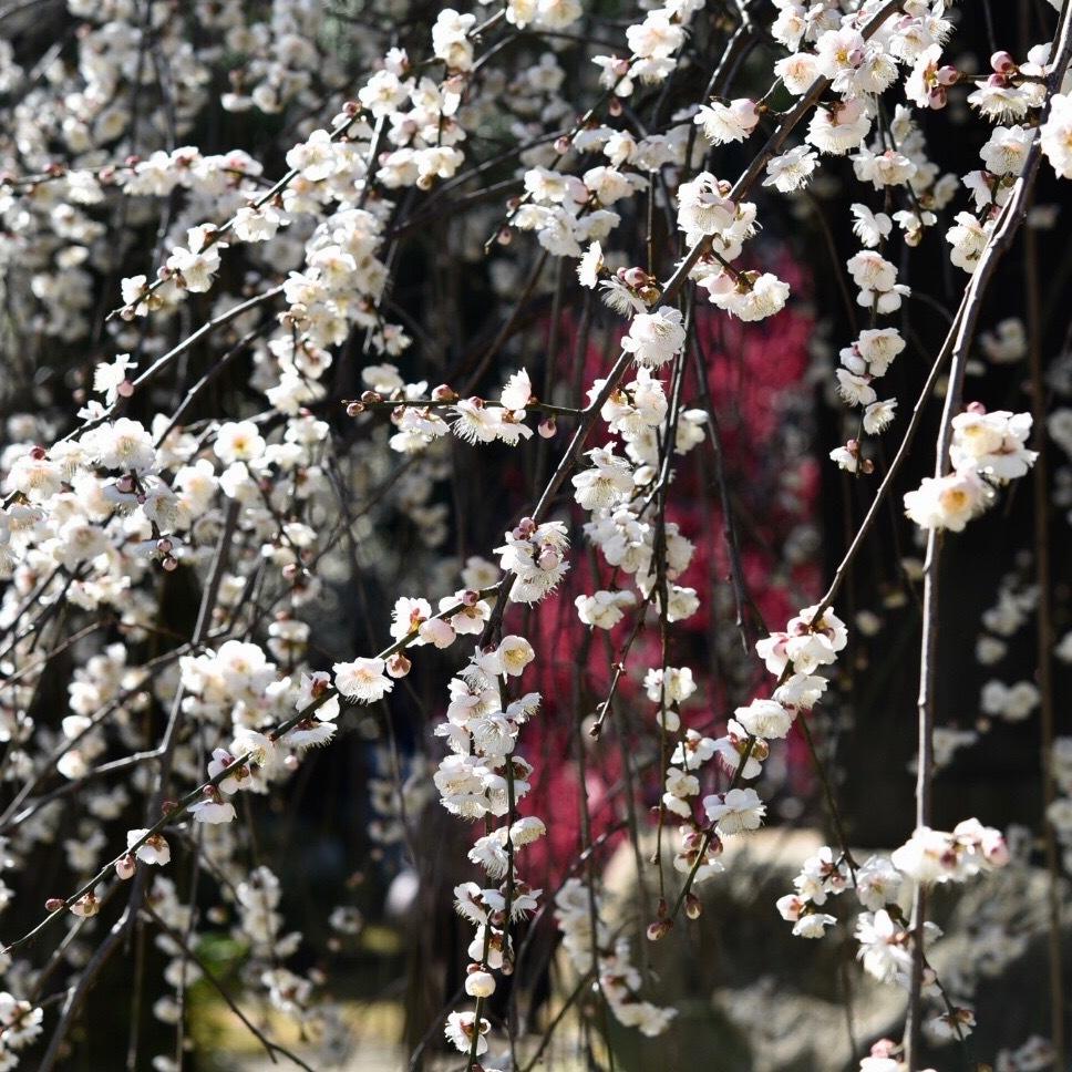 縮景園の梅が満開_f0099102_11464297.jpg