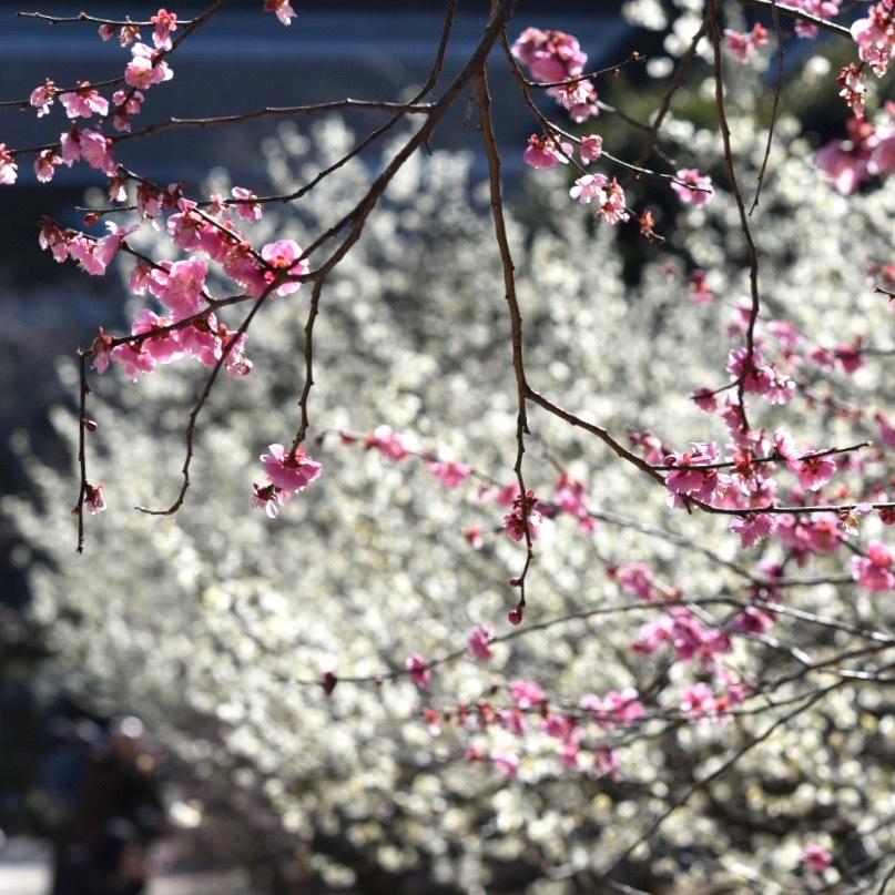 縮景園の梅が満開_f0099102_11464690.jpg